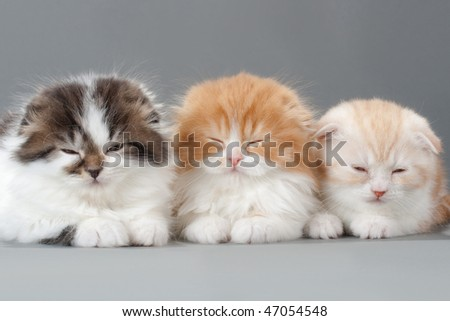 Three brother kitten scottish fold breed on gray. No isolated.