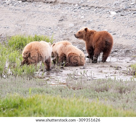 Three brown bear cubs foraging for sedge in the mud near the edge of a beach in Alaska - stock photo