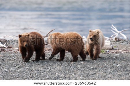 Three brown bear cubs playing on the beach - stock photo