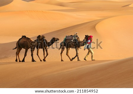 Three brown camels travelling in the Sahara desert in Morocco - stock photo