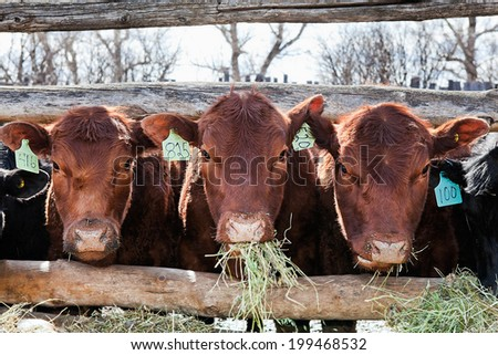 Three brown cows in a row, eating hay in early spring. - stock photo