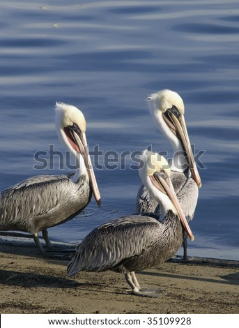 Three brown pelicans stand like stern sentinels on beach in Santa Barbara, California - stock photo
