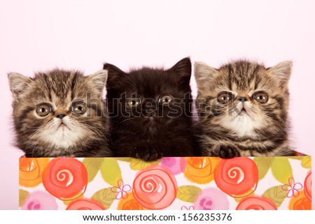 Three Brown tabby Exotic kittens sitting inside container on lilac pink background - stock photo