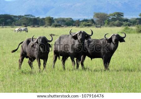 Three Buffalo - stock photo