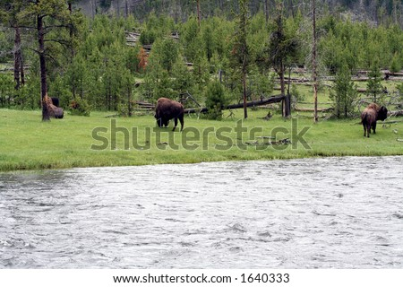 three buffalo next to a river in Yellowstone national park - stock photo