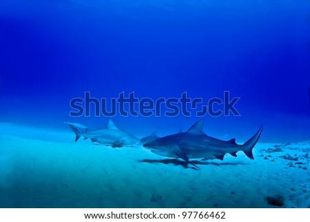 Three bull shark in Playa del Carmen Mexico - stock photo
