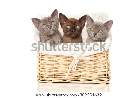 Three Burmese kittens in a basket on white background - stock photo