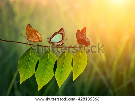 Three butterfly on green leaf and sunlight. - stock photo