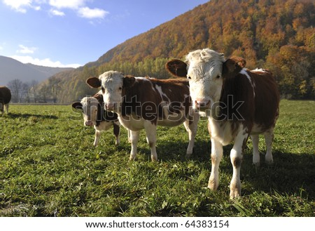 Three Calves - stock photo