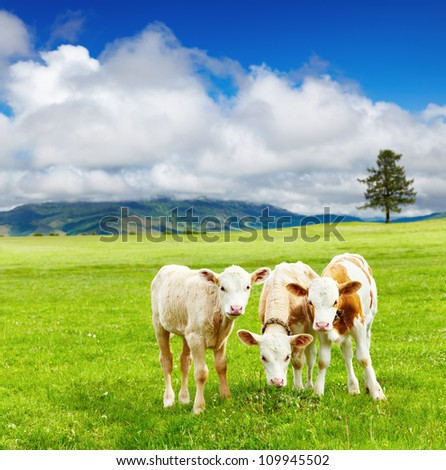 Three calves on the meadow - stock photo