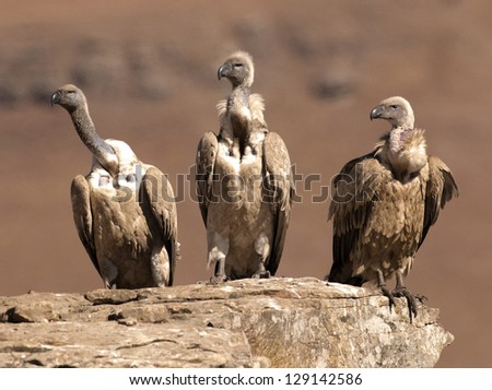 Three Cape Vulture's sitting in a row on a rock ledge looking in the same direction - stock photo