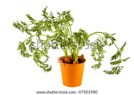 three carrots with leaves in orange enamel bucket, isolated on white - stock photo