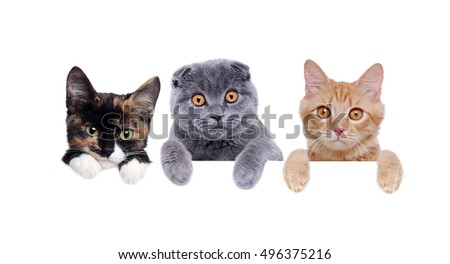 three cats  holding the blank board closeup portrait