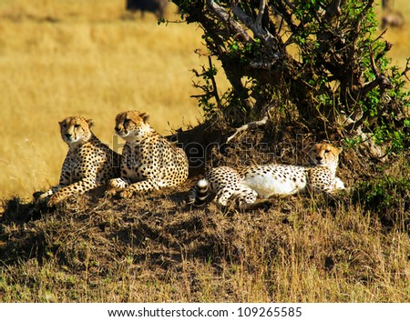 Three cheetah brothers resting under a tree in the Masai Mara kenya