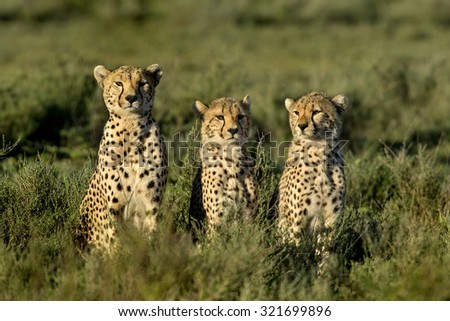 Three Cheetahs sitting, Serengeti, Tanzania - stock photo