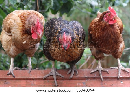 Three chickens, focus on right hand chickens head. - stock photo