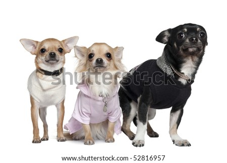 Three Chihuahuas, 1 and 3 years old, in front of white background