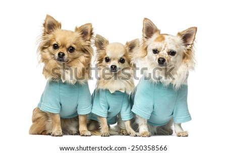 Three chihuahuas dressed - stock photo