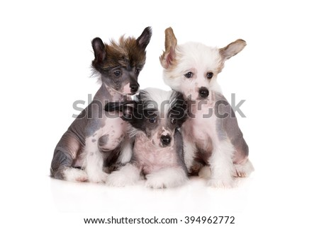 three chinese crested puppies sitting together