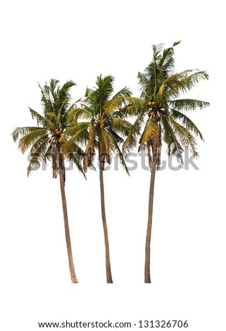 Three coconut palm trees isolated on white background - stock photo