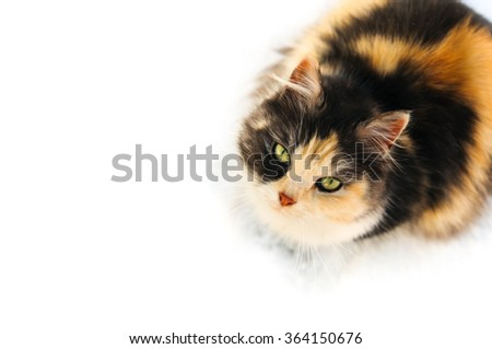 Three color furry winter cat isolated on white background - stock photo