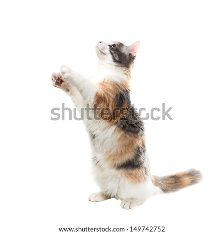 Three-colored cat sitting on its hind legs