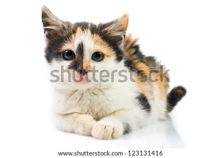 Three-colored kitty - stock photo