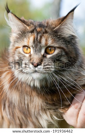 Three-colored Maine Coon