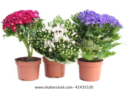 Three colorful Cineraria in red pots isolated over white - stock photo