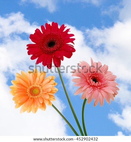 Three colorful  Gerber flowers, daisies isolated on sky background  - stock photo
