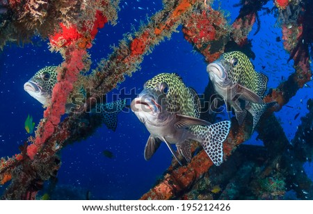 Three colorful Harlequin Sweetlips on a tropical coral reef - stock photo