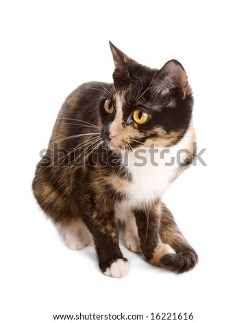 three-coloured cat sitting on white background - stock photo