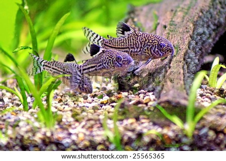 Three Corydoras Trinilleatus Catfish swimming in a planted tropical aquarium.  Space for copy. - stock photo
