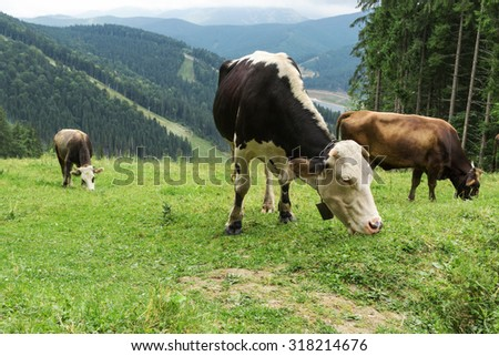 Three cows grazing on a hillside near the woods in the mountains of the Carpathians - stock photo