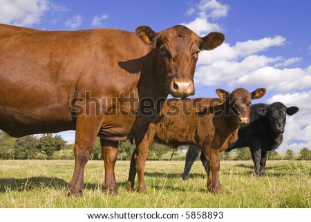 Three cows in a line facing camera - stock photo