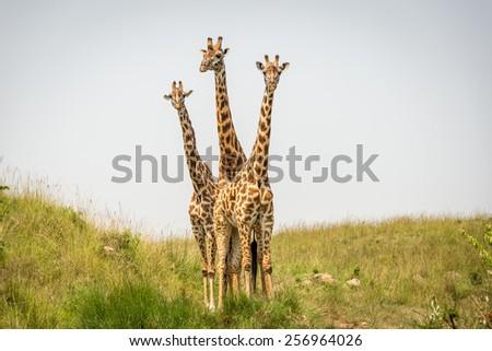 Three Curious Giraffes - stock photo