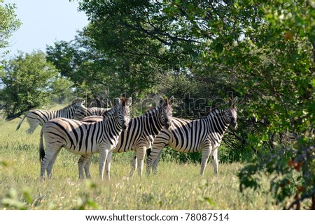 three curious zebras - stock photo