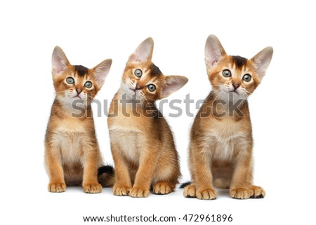 Three Cute Abyssinian Kitten Sitting and Curious Looking up, Stare in Camera on Isolated White Background, Front view, Funny turned head
