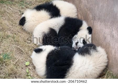three cute baby pandas sleeping  on the ground. - stock photo