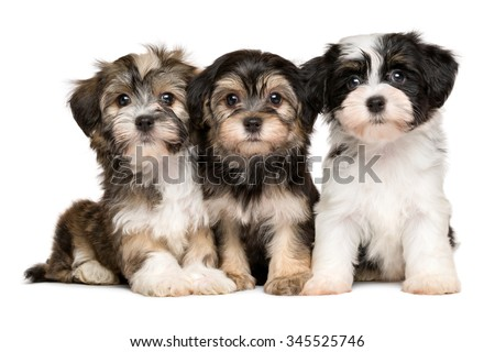 Three cute bichon havanese puppies are sitting next to each other, isolated on white background - stock photo