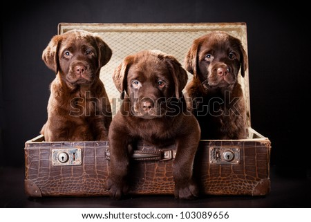 three cute chocolate puppies of Labrador Retriever amicably sitting in brown vintage leather suitcase on black background - stock photo