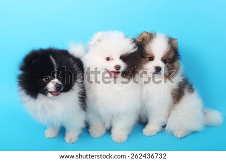 three cute little spitz puppies closeup - stock photo