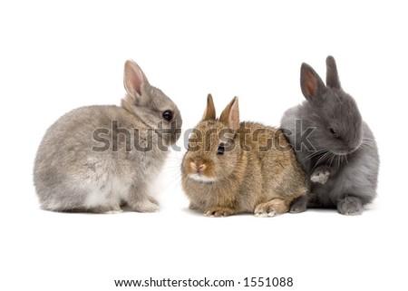 Three cute Netherland dwarf bunnies on white background - stock photo