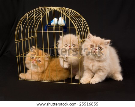 Three cute pretty Persian kittens on black background next to gold birdcage with two blue and white birds - stock photo