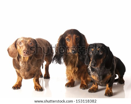 three dachshunds on a white background