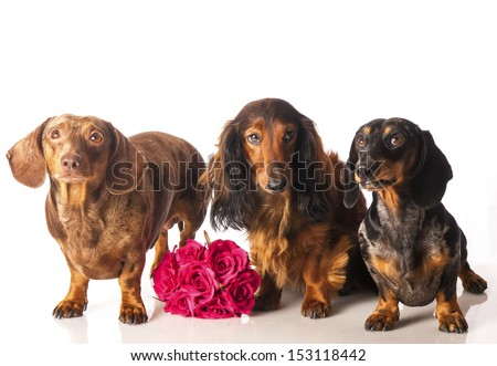 three dachshunds with a  bunch of flowers on a white background