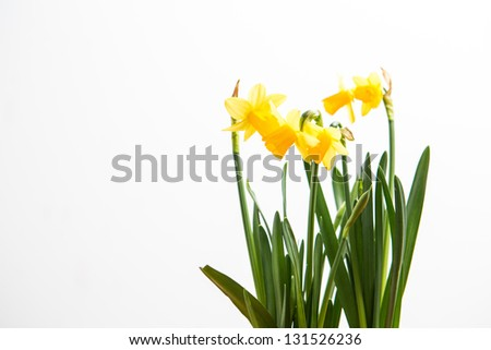 Three daffodils growing on white background