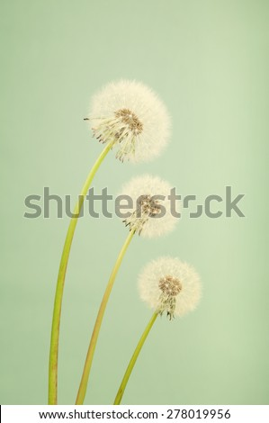 Three dandelions in vintage style
