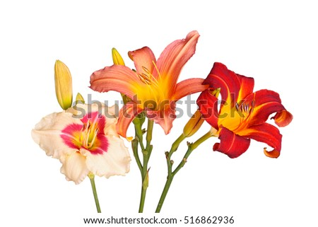 Three daylily flowers of different cultivars in various colors with unopened buds isolated against a white background