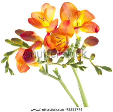 three different colors of freesia on white background